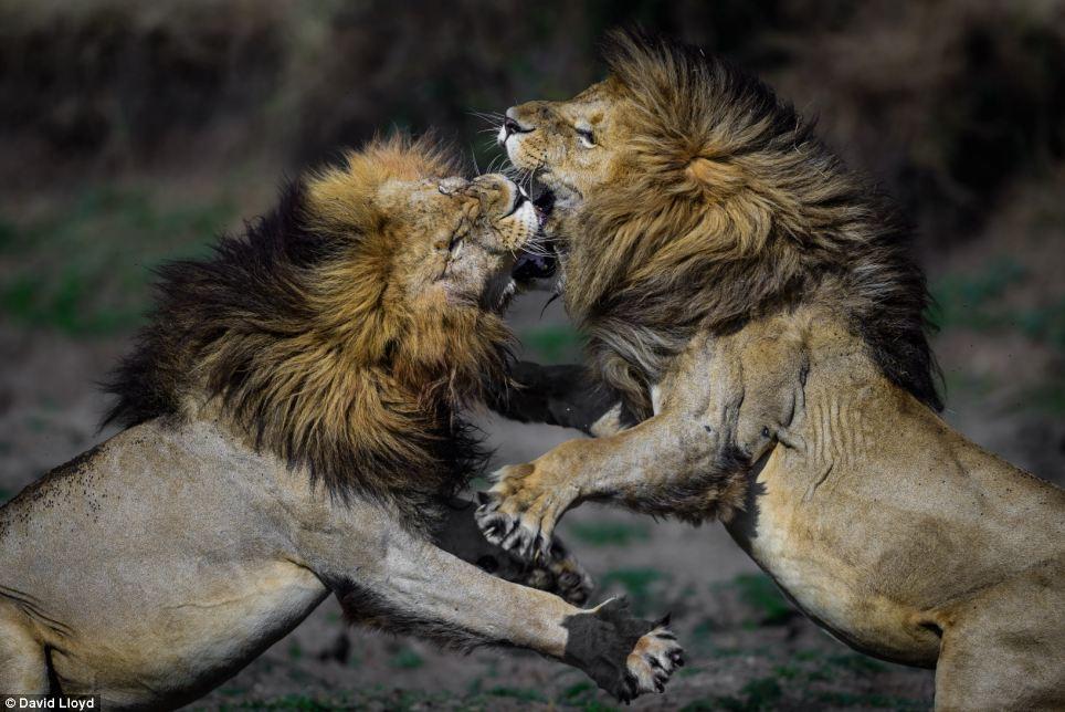 lionfight.jpg