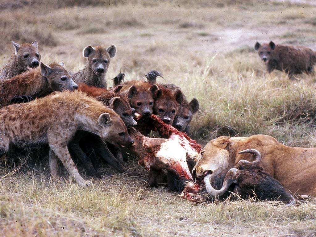 hyenas-eating.jpg