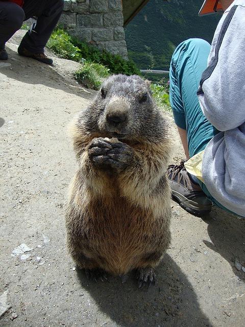 marmot-443486_640.jpg