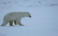[동물]사파리매거진2580 - 북극곰편