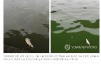 [환경]녹조라떼는 4대강이 만들었나?