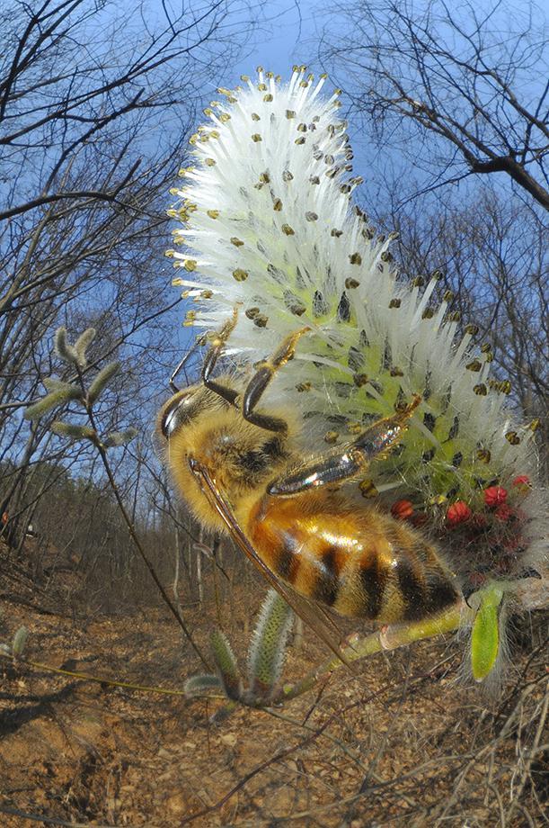 꿀벌의 흡밀.jpg