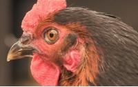 [동물]사파리매거진2580 - 닭 편