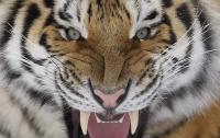 [동물]사파리매거진2580 - 시베리아 호랑이편